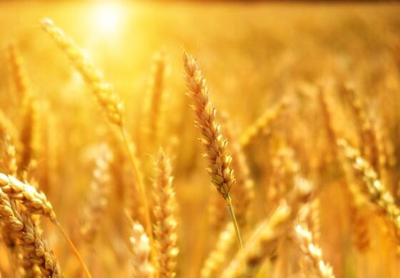 МЗШВ: Во полн ек е жетвата на пченицата, годинава се очекува за 4 отсто поголемо производство