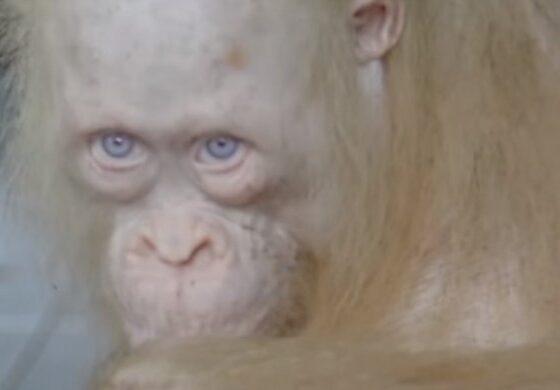 Единствениот албино орангутан во светот е пуштен на слобода (ВИДЕО)