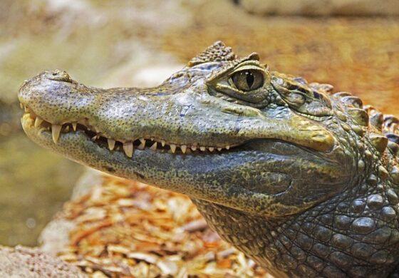Чикаго потроши 30.000 евра за фаќање на алигаторот во градскиот парк