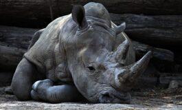 Посетители на зоолошка градина со нокти изгравирале имиња на грб на носорог (ФОТО)