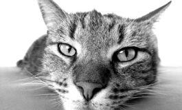 Откриена вакцина која лечи алерија од мачки