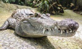 Пензионер заврши во болница по блиска средба со крокодил