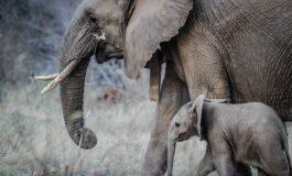 Се забранува продажба на бебиња од африкански слонови на зоолошките градини