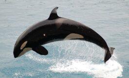 Китови убијци држани во нехумани услови пуштени од заробеништво во Русија