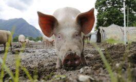 Завршиле в затвор поради криумчарење свинска сперма