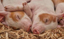Свињи страдаа во сообраќајка на пат кон кланица
