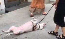Тврдоглаво куче кое стана хит на интернет (ВИДЕО)