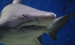 Застрашувачки снимки: Напади на ајкули снимени одблизу (ВИДЕО)
