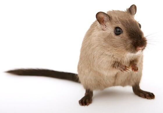 Од утре третирање против глувци во Куманово