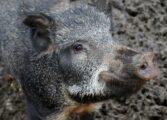 Дива свиња утринава се шеташе низ центарот на Куманово