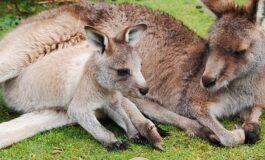 Масакр во Австралија: Тинејџер убил 20 кенгури, жителите затекнале ужасна глетка