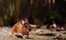 Кога глушец ќе нападне мачка (ВИДЕО)