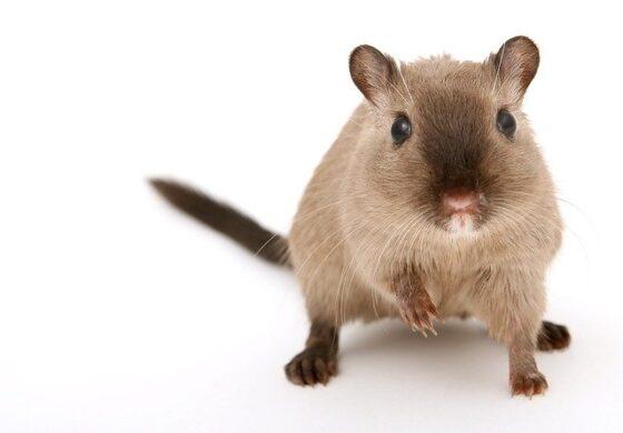 Во Кина пронајден праисториски стаорец 2,5 пати поголем од денешните