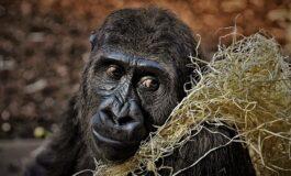 Откриена горила со човечки прсти (ФОТО)