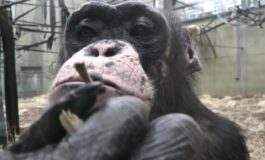 Мајмун кој обожава дијаманти и чевли, пали цигари и пуши како човек (ВИДЕО)