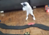 """Сопственикот ја """"излуде"""" мачката со автомобил играчка, а снимката стана вирална (ВИДЕО)"""